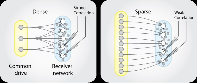 So far, it has been the common belief that a dense collection of a few cells triggers movement by sending the same signal to many other cells at the same time (left). Instead, research from the University of Copenhagen now shows that it is more likely a matter of a large, scattered network of cells, each of which only signals a few other cells (right). Graphics: Department of Neuroscience, University of Copenhagen.
