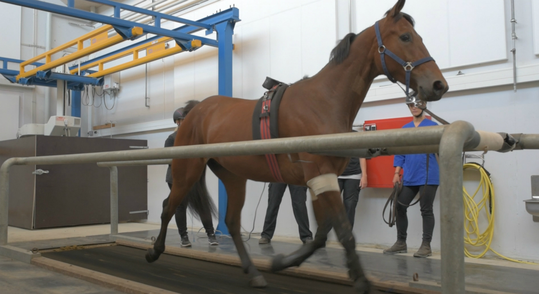 Before mapping the hearts of the horses, veterinarians from the University Teaching Hospital for Large Animals test the physical fitness of the animals. This is, amongst other methods, done on special treadmills, as illustrated by this picture from a previous study.
