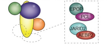 The protein complex PRC2 (left) is central to regulating genetic expression. Researchers tested several associated proteins (right) and found that all of them assisted PRC2 to bind the correct places. The associated protein PCL exists in three different forms, making the number of associated proteins six in total. Illustration: Biotech Research & Innovation Centre, University of Copenhagen.