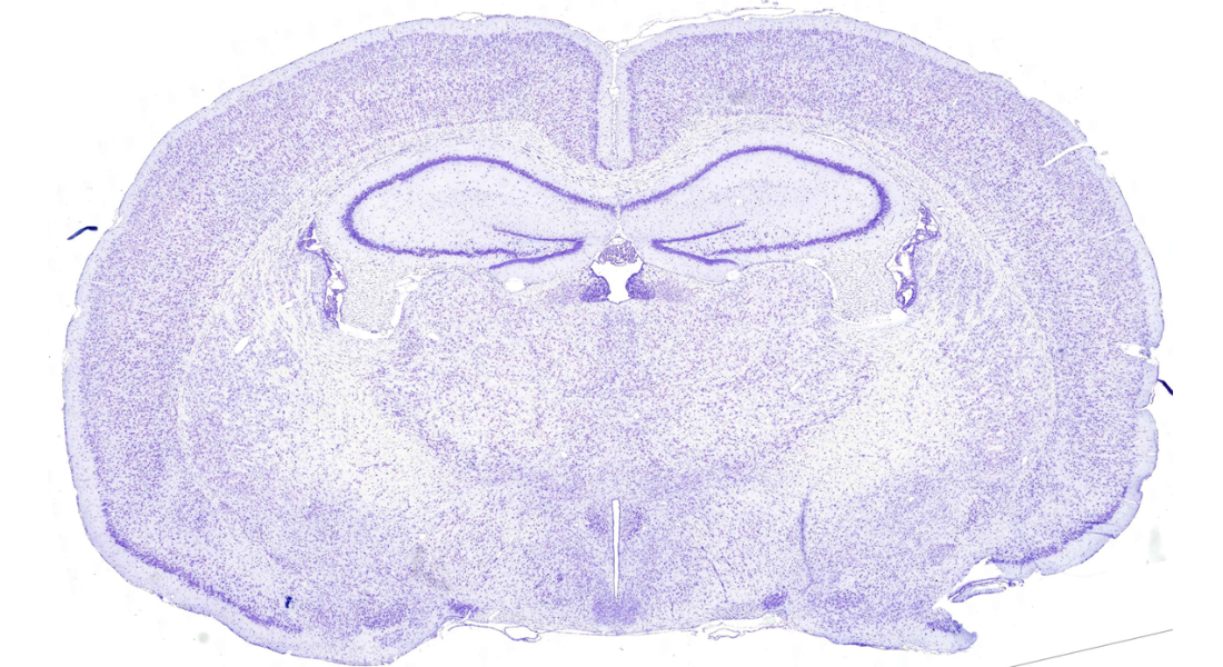 Histology of rat brain