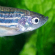 Zebrafish teach researchers more about atrial fibrillation