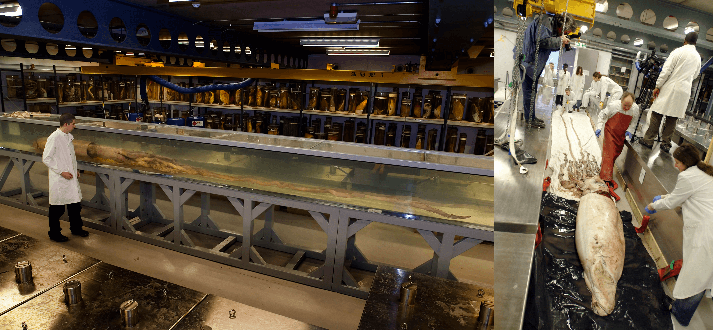 Two pictures of giant squid at the Darwin Center Tank Room at the Natural History Museum, London.