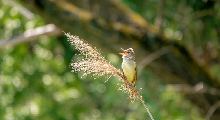 Great reed warbler.